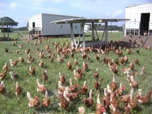 Cowart Ranch Chicken, Eggs & Cattle