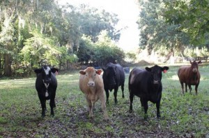 White Ranch Cattle